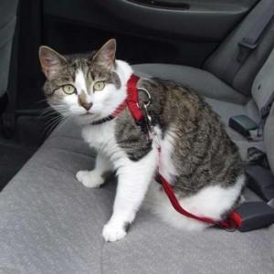 Брать ли кошку в путешествия? Авиа, авто, поезд.
