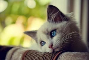 Как прочистить параанальные железы коту