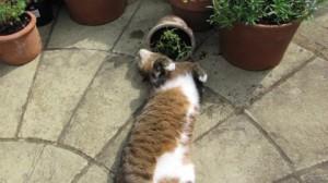Не пугайтесь реакции кота на кошачью мяту