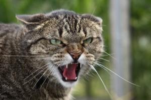 Почему кошка стала агрессивной
