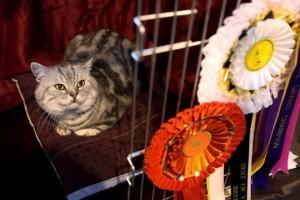Подготовка кошек к выставке – всё, что нужно знать владельцу