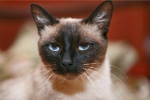 Тайская порода кошек (европейское название сиамской круглоголовой)