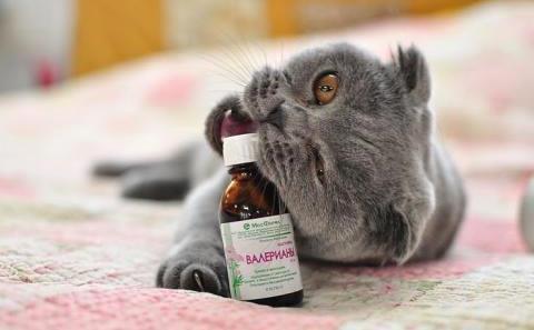 Валериана для кошки забава или пагубное пристрастие