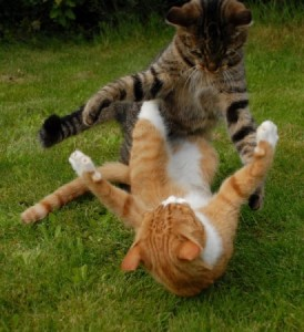 Агрессия между кошками в доме