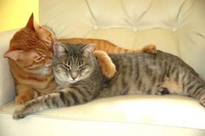 Подбор пары для вязки кошки