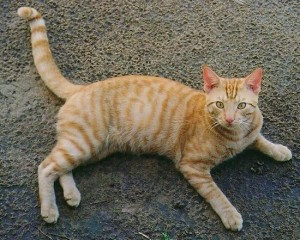 Табби (тэбби) окрас британской кошки