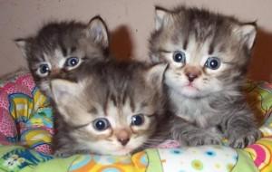 История происхождения породы сибирских кошек