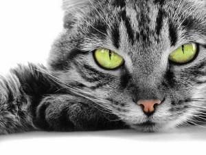 Подготовка кошки к процедуре стерилизации.