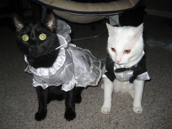 У кошек свадьба.