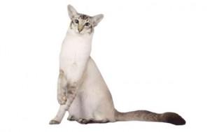Яванская кошка (Яванез)