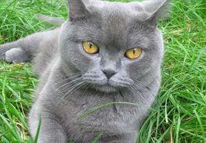 Порода кошек гималаи