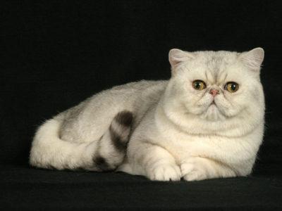 Кот экзот – прекрасный друг.