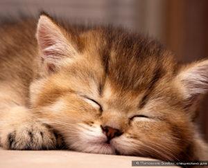 Как правильно купить британского котенка?