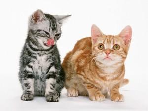 Как ужиться двум котам на одной территории?