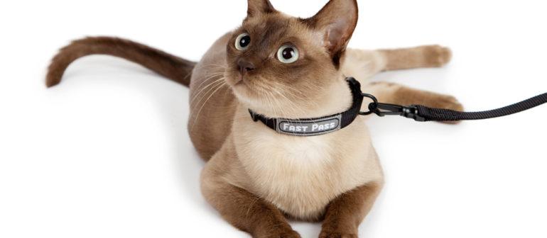 Нужен ли кошке ошейник?