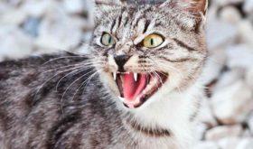 Кошка поцарапала и покусала, агрессия.