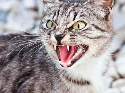 Агрессивная кошка. Как предотвратить агрессию между кошками?