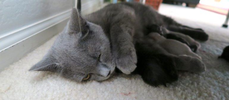 Правильный уход за кошкой после родов