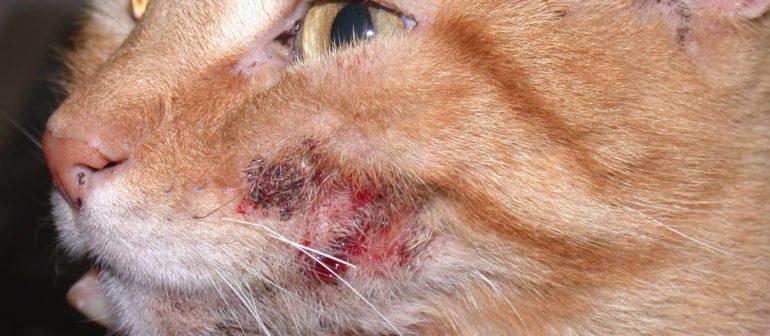 Дерматит у кошек, его лечение.