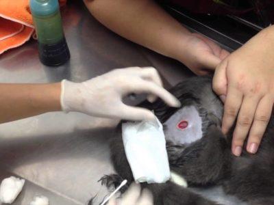Лечение ран у кошки
