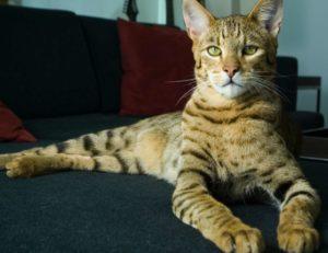 Три самые желанные породы кошек