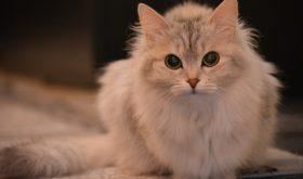 Домашние породы кошек