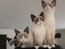 Сноу-шу – кошки которые любят купаться