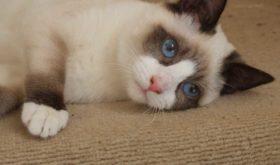 Сноу-шу — кошки которые любят купаться