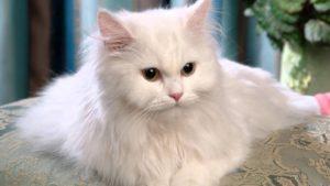Персидские кошки - самые красивые!
