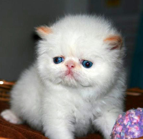 Персидские кошки – самые красивые!