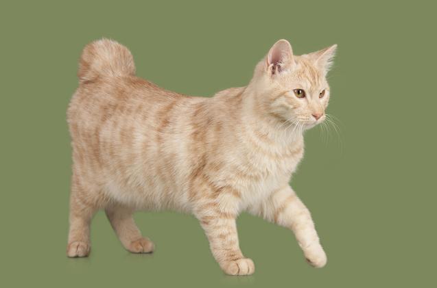 Порода кошек без хвоста