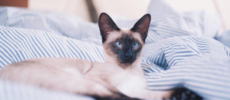Отличие сиамской кошки от тайской