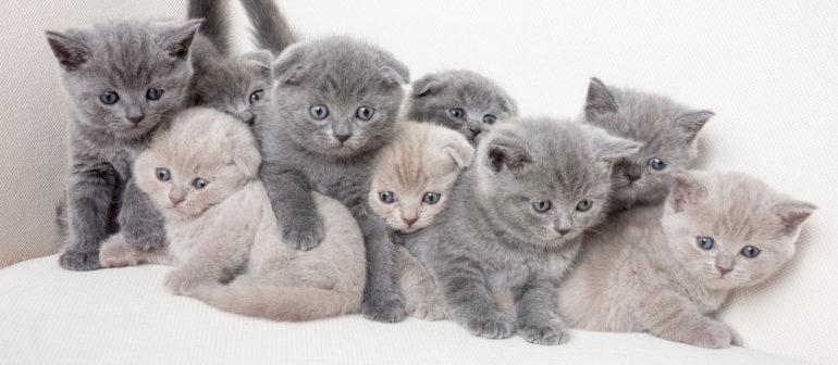 Как назвать британского котенка?