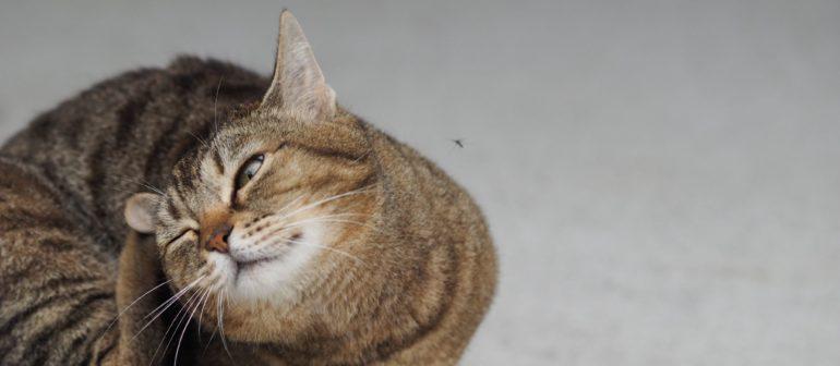 Как вывести блох у кошки?
