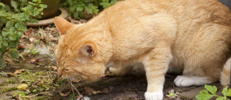 Рвота у кошек причины и лечение