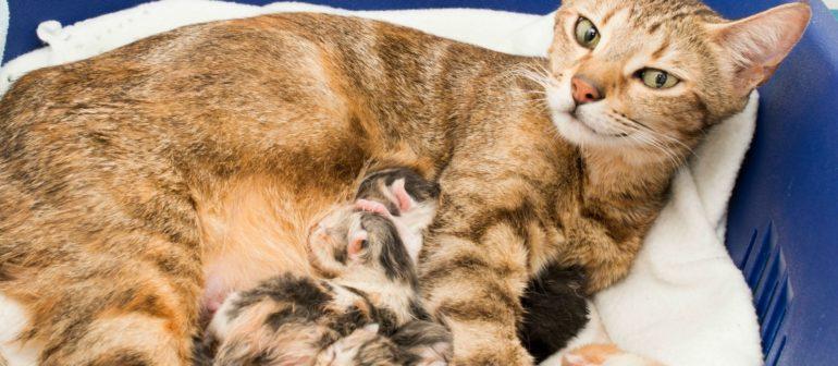 Как понять что кошка рожает?