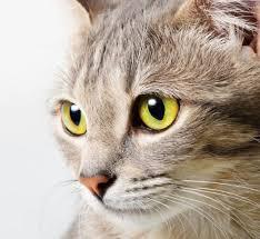 Как понять язык кошек?