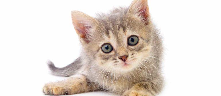 Как узнать возраст котенка?