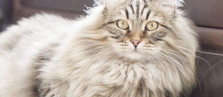 Характер сибирской кошки