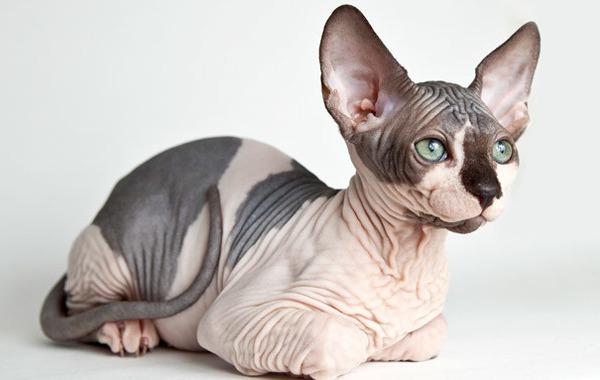 Имена для кошек сфинксов