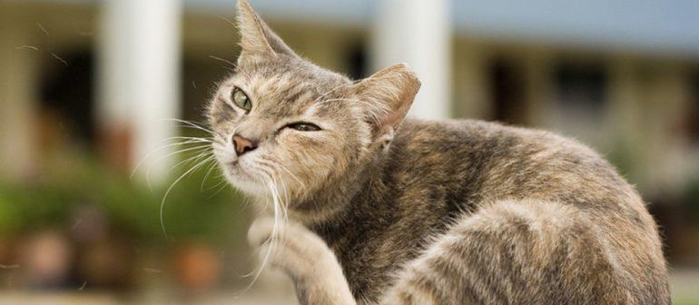 У кошки чешутся уши