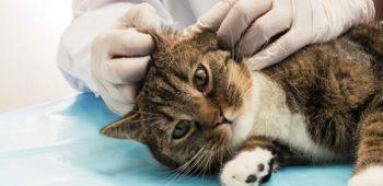 Как лечить подкожного клеща у кошки