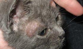 Как лечить лишай у котенка?