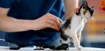 Как кошкам ставить уколы