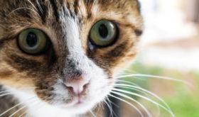Симптомы и лечение насморка у кошек