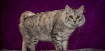 Кошка Кимрик