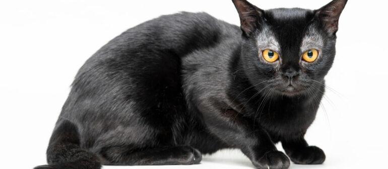 Бомбейская кошка, порода короткошерстных кошек.
