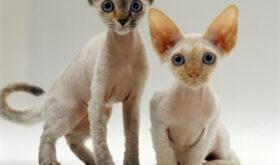 Кошка девон-рекс