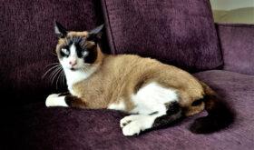 Кошки породы сноу-шу