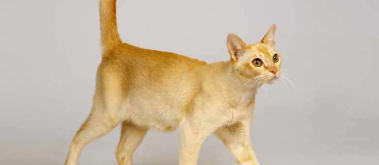 Цейлонская кошка